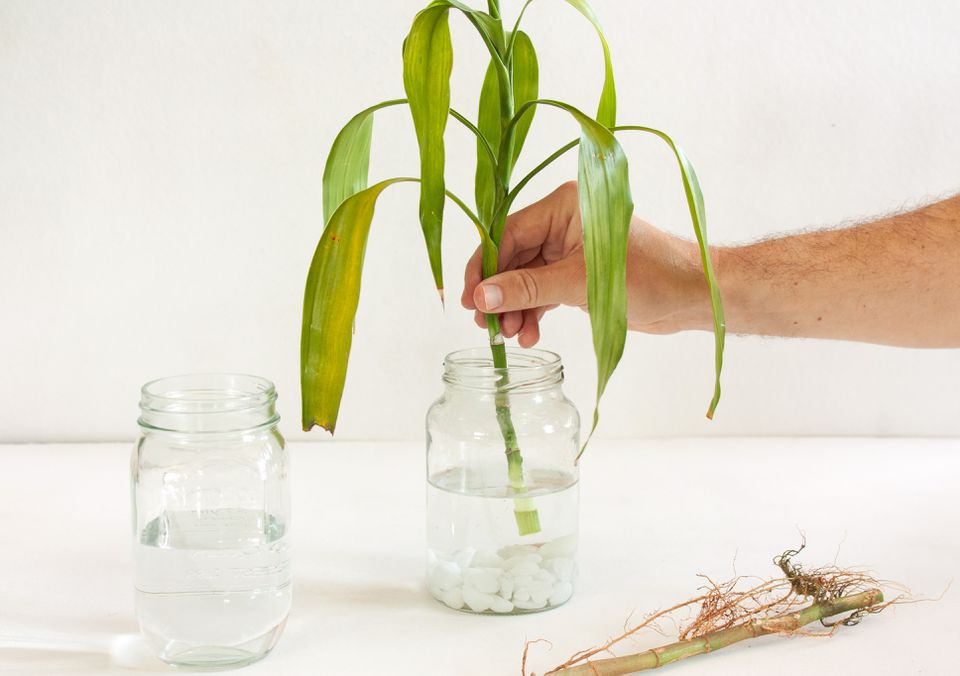 person placing a lucky bamboo cutting in a jar