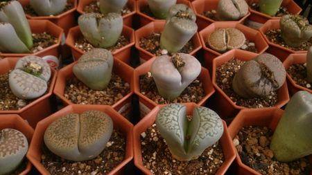 Tips for Growing Living Stones Plants Trailing House Plant Cactus on trailing flowers, variegated ivy house plant, trailing green plants, trailing annual plants, angel trumpet flower plant, trailing vines and roots, droopy marijuana plant, trailing flowering shrub texas, trailing aloe, trailing lantana varieties, trailing flowering plants, trailing begonias, butterfly rose plant, trailing plants for containers, trailing vinca vine, tiger lily plant, kalanchoe plant,
