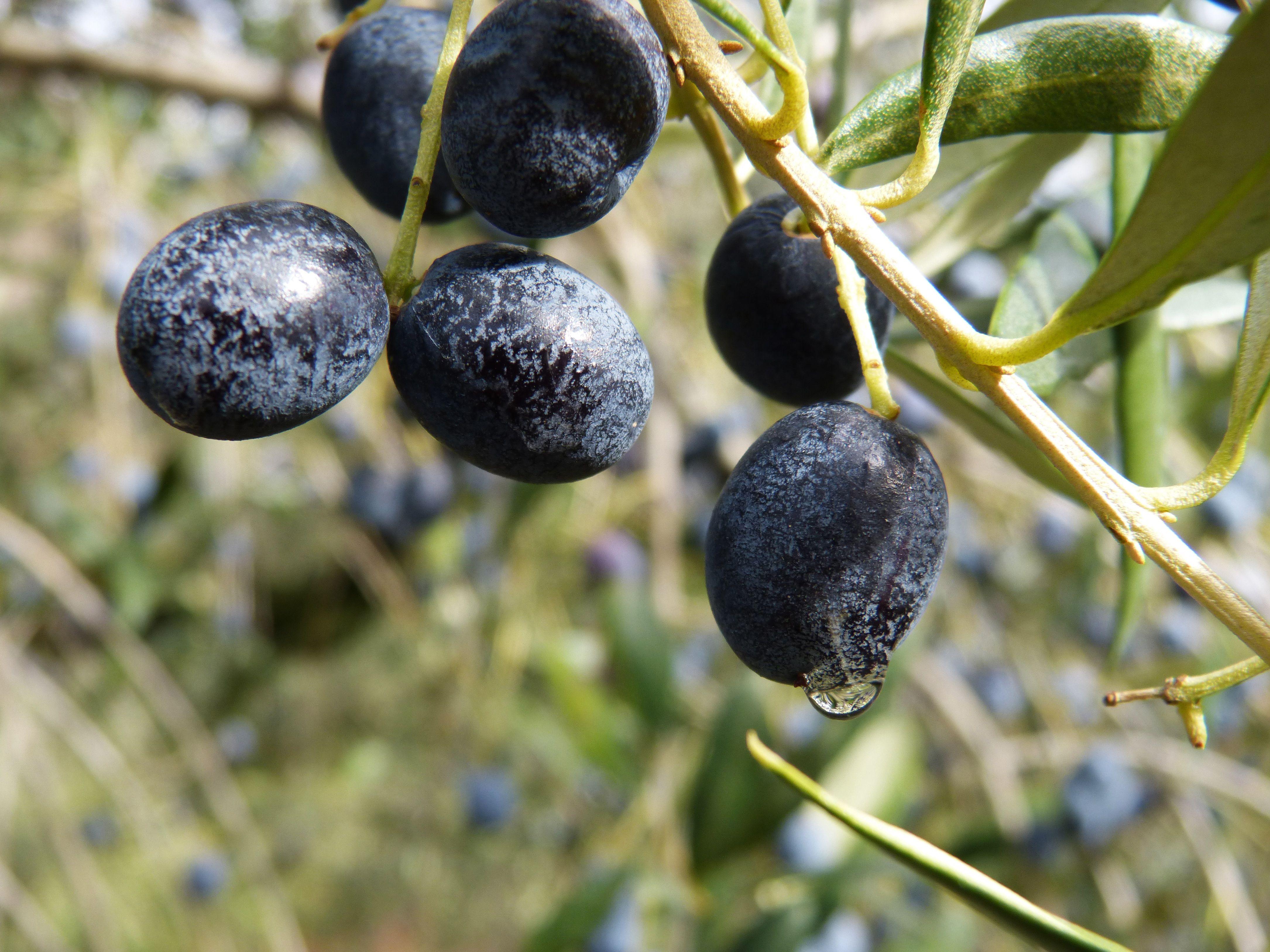Ripe black Niçoise olives on a branch