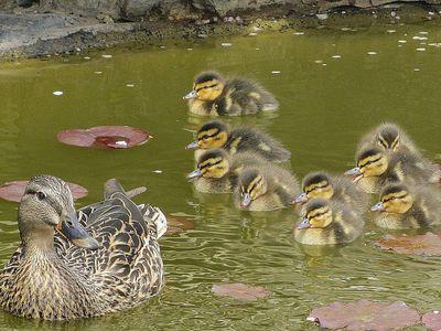 How To Attract Backyard Ducks Attracting Wild Birds