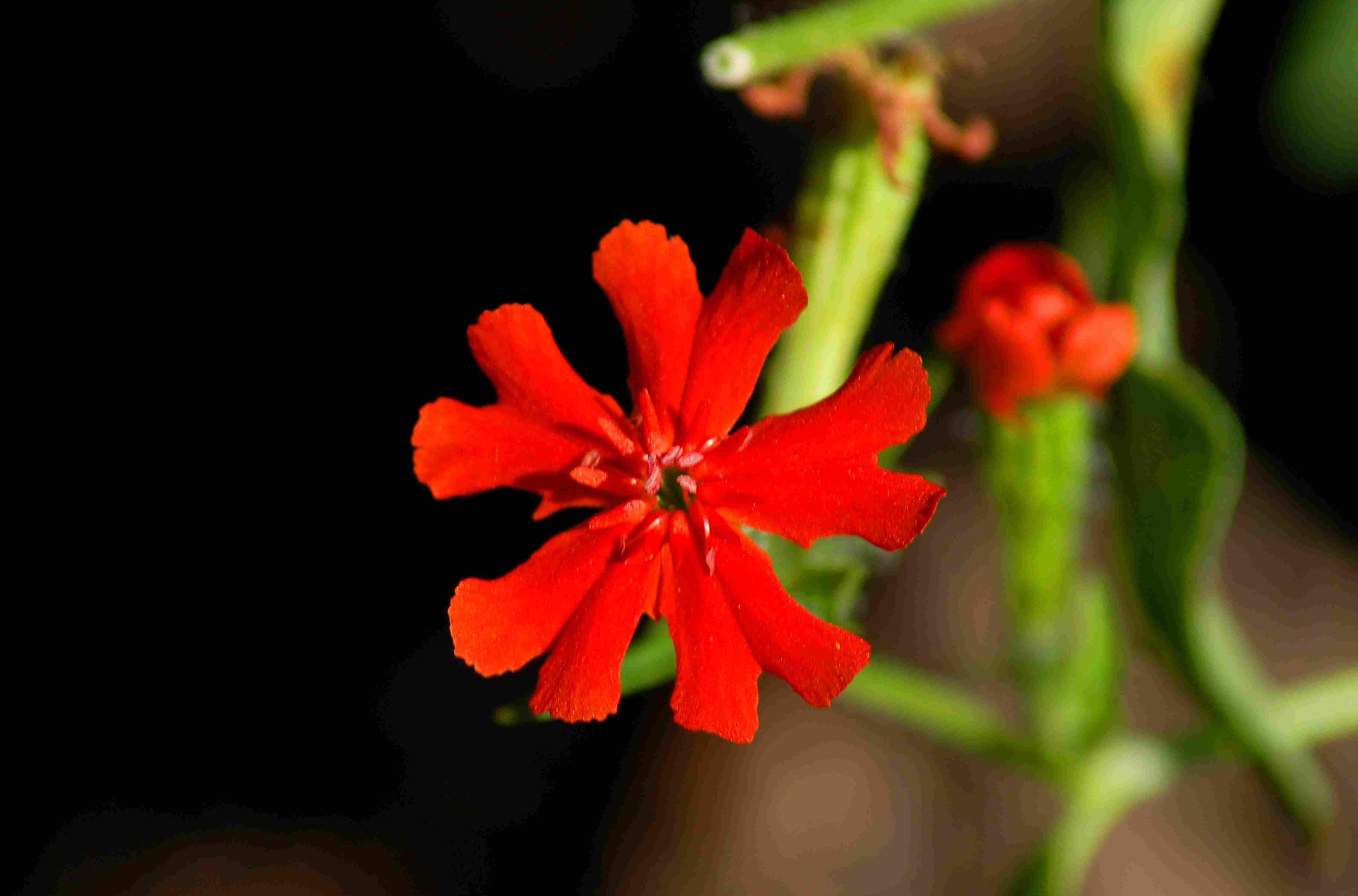 Maltese cross flower.