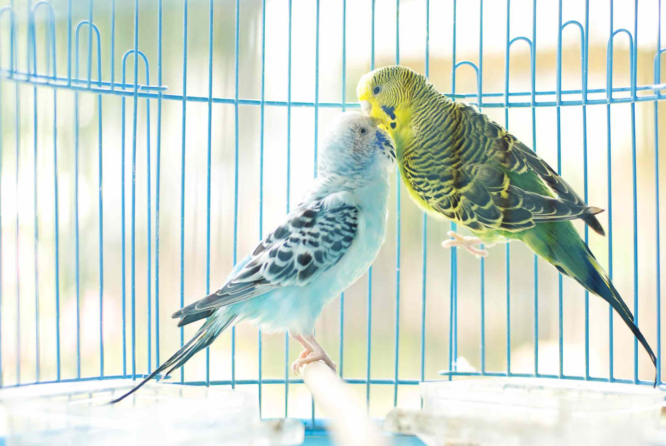 Yellow and blue parakeets kissing