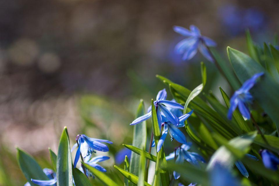 Wildflower blue Scilla siberica