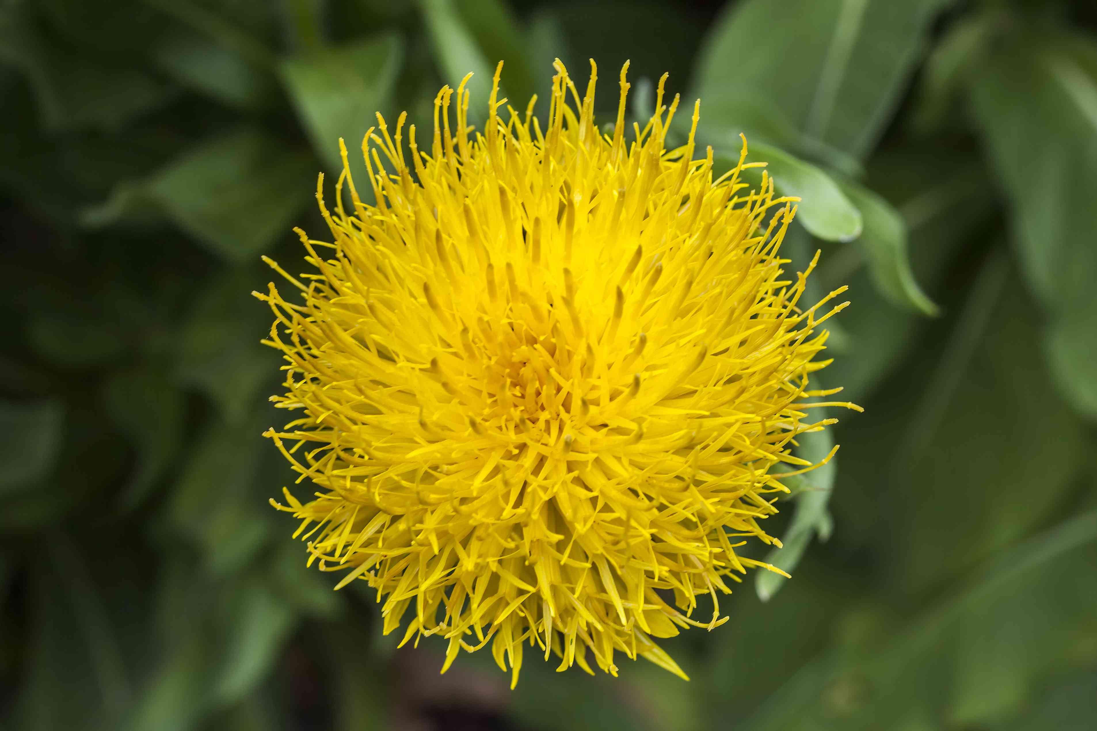 Yellow Centaurea flower.