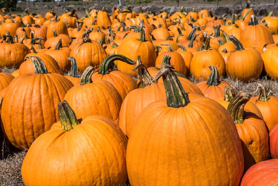 Horizontal Shot of Pumpkins