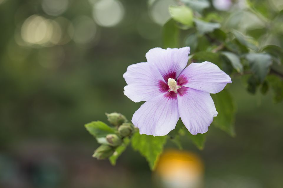 An orchid-pink-color Rose of Sharon flower blooms in the garden.