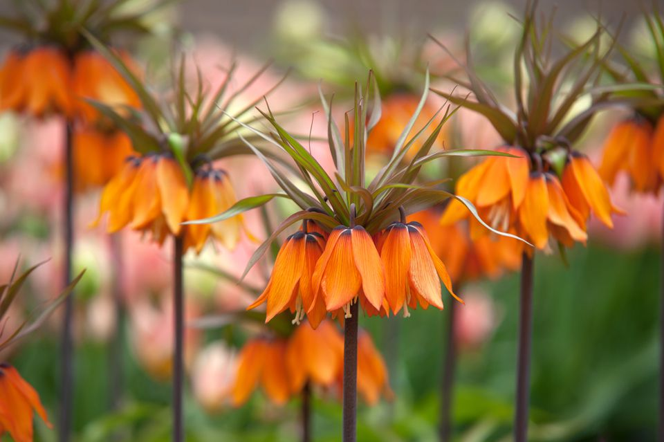 Fritillaria with orange bell-shaped flowers