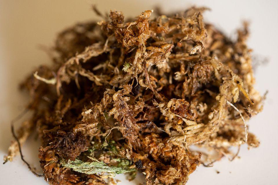 Clump of sphagnum moss closeup