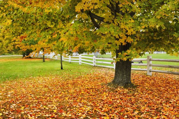 Sugar maple with fallen leaves on the ground