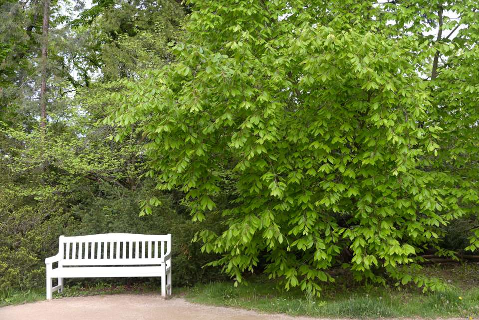 American beech tree with bright green next to white bench