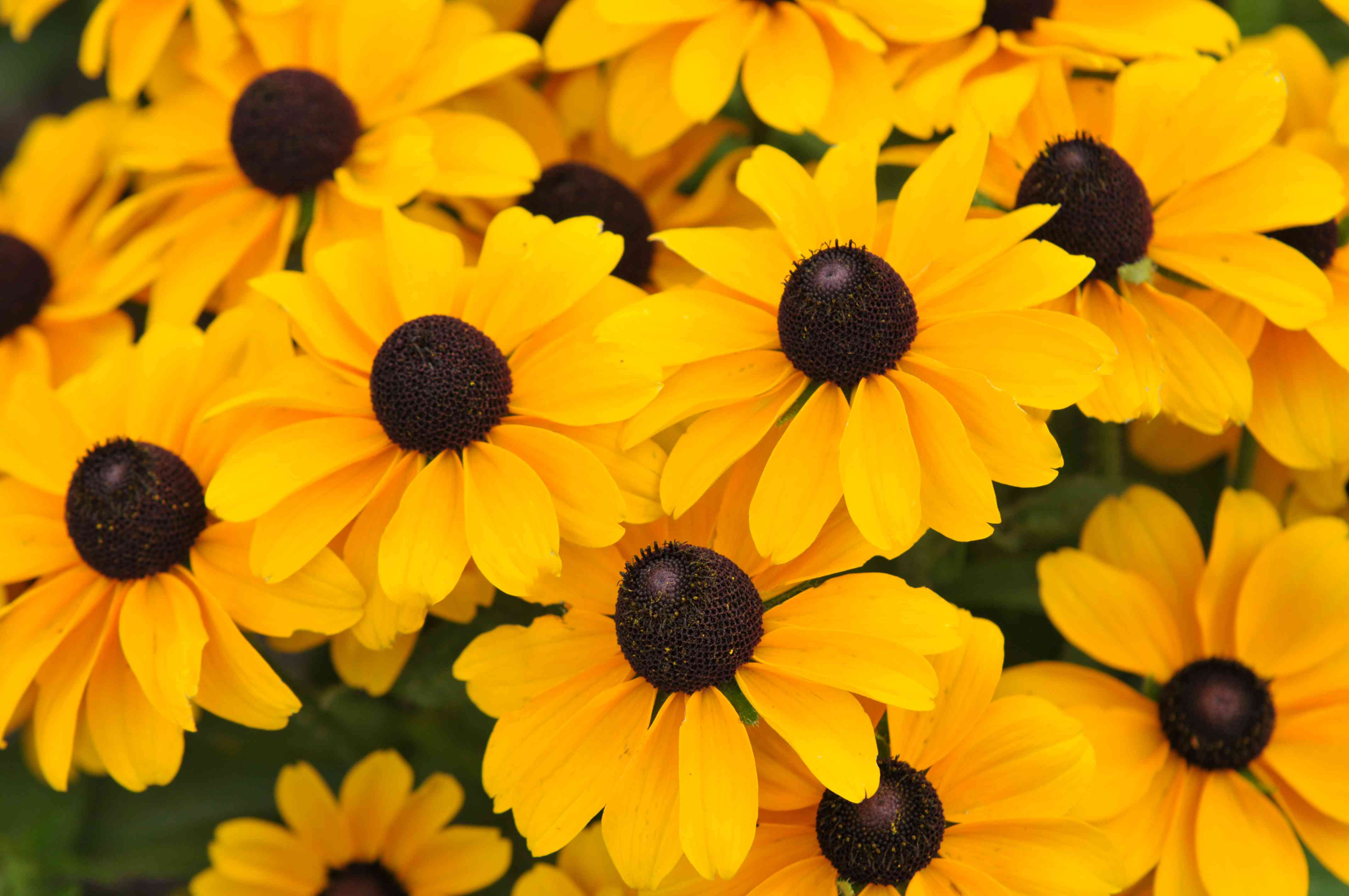 Black-eyed susan flowers with yellow petals and black centers closeup
