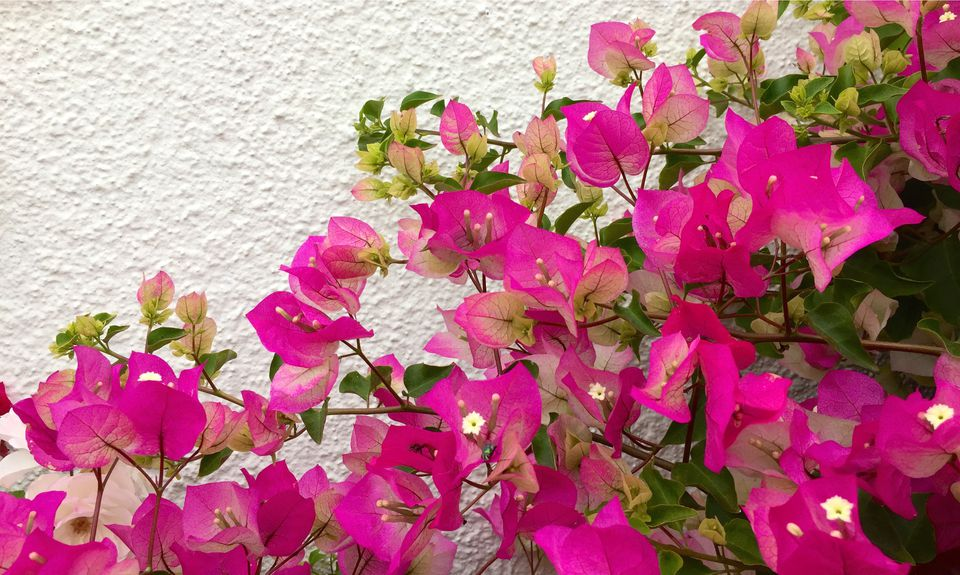 Close-Up Of Bougainvillea Blooming Against Wall