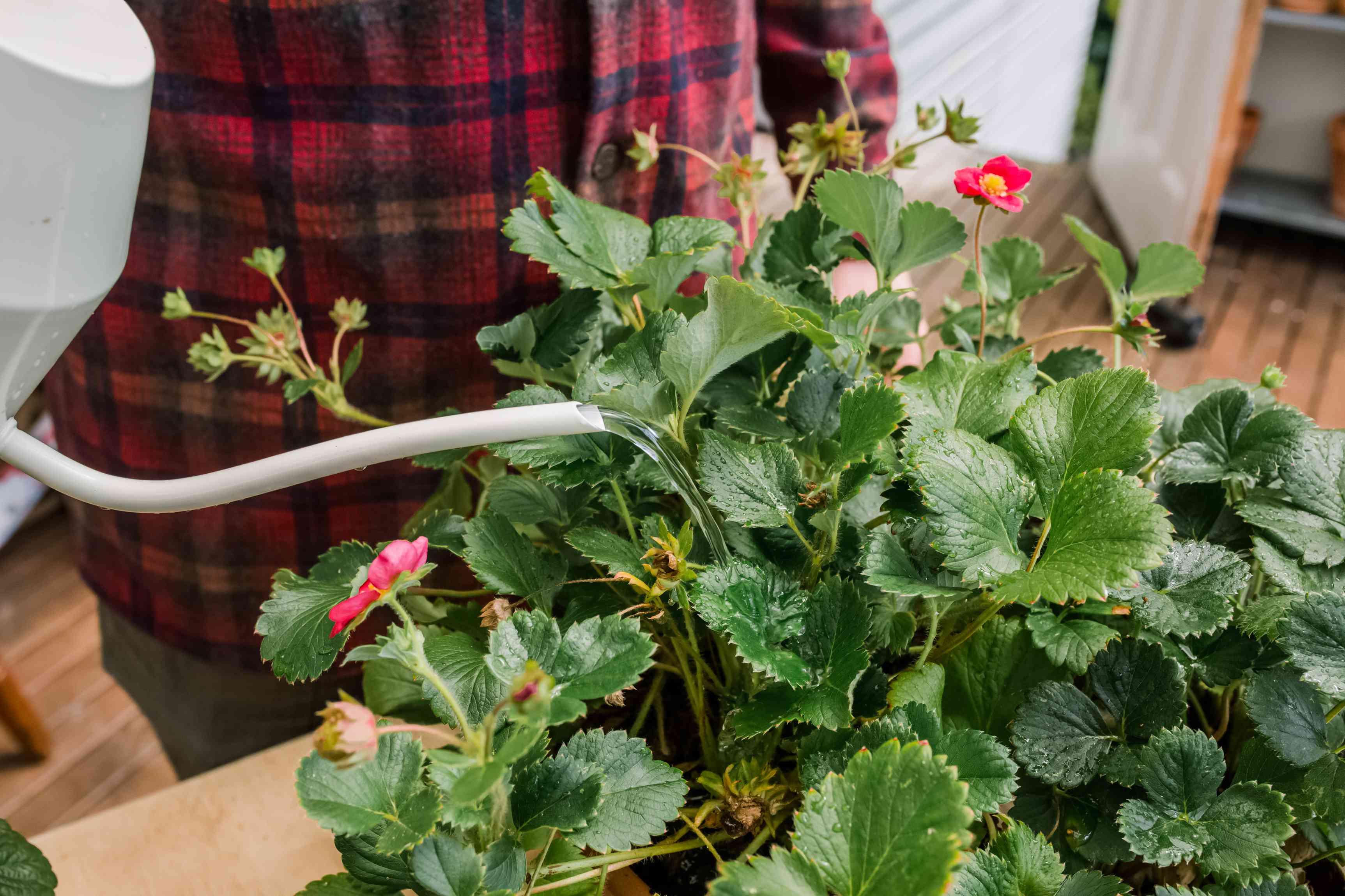 watering strawberry plants