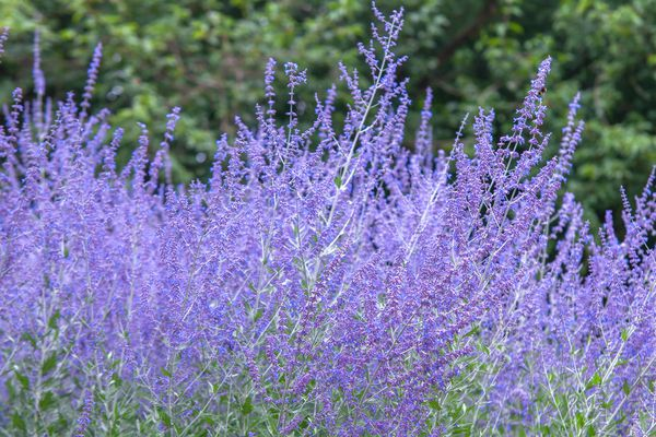 Russian sage plant with purple flowers in garden