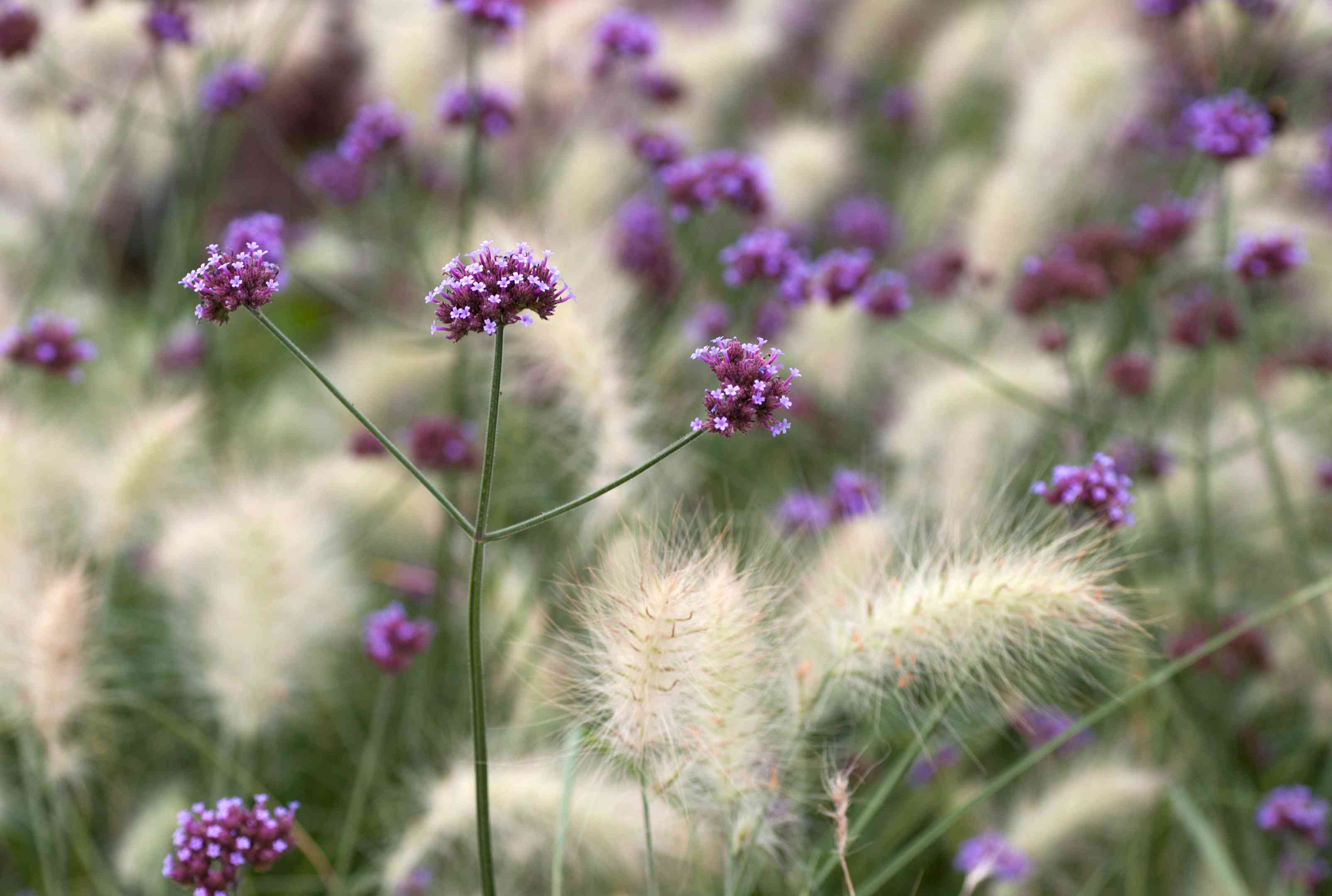 Tall verbana plant with long branching stalk and small purple flower clusters at ends