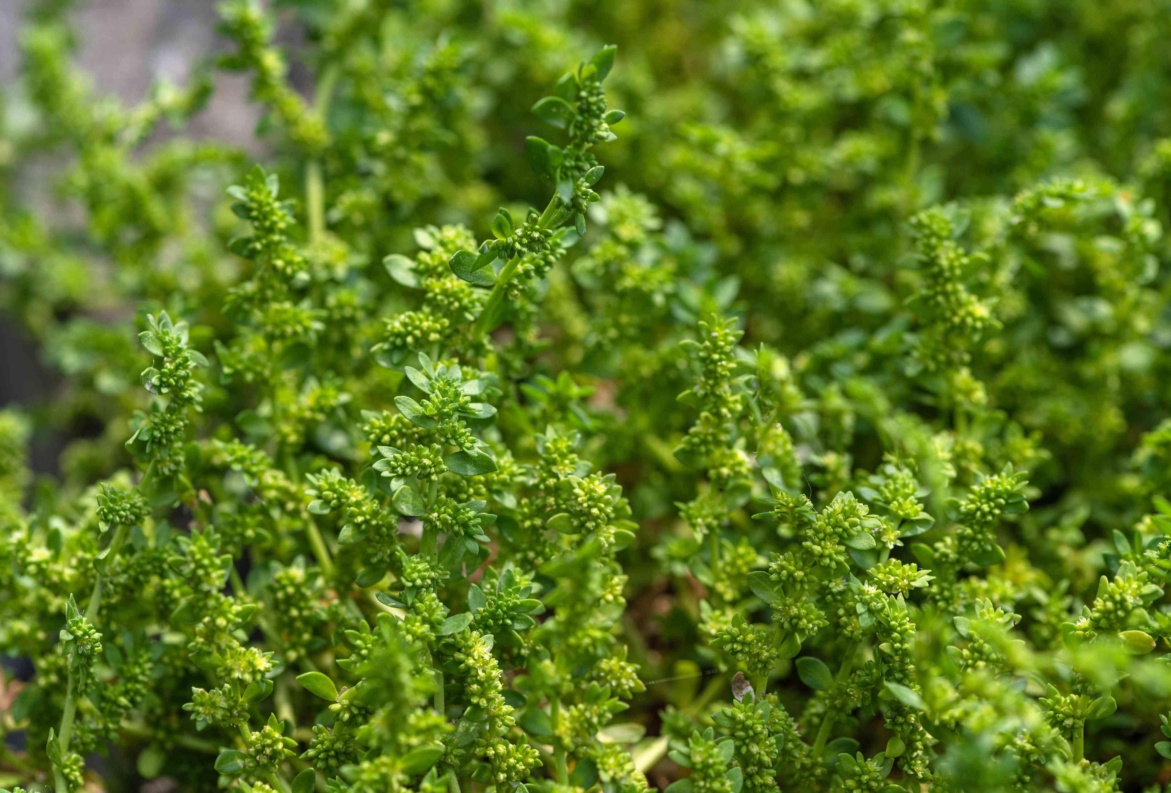 Rupturewort plant stems with dense evergreen leaves closeup