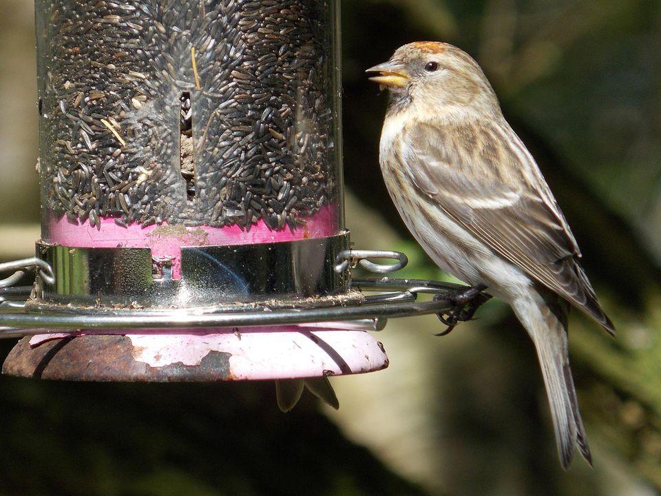 Bird eating at feeder