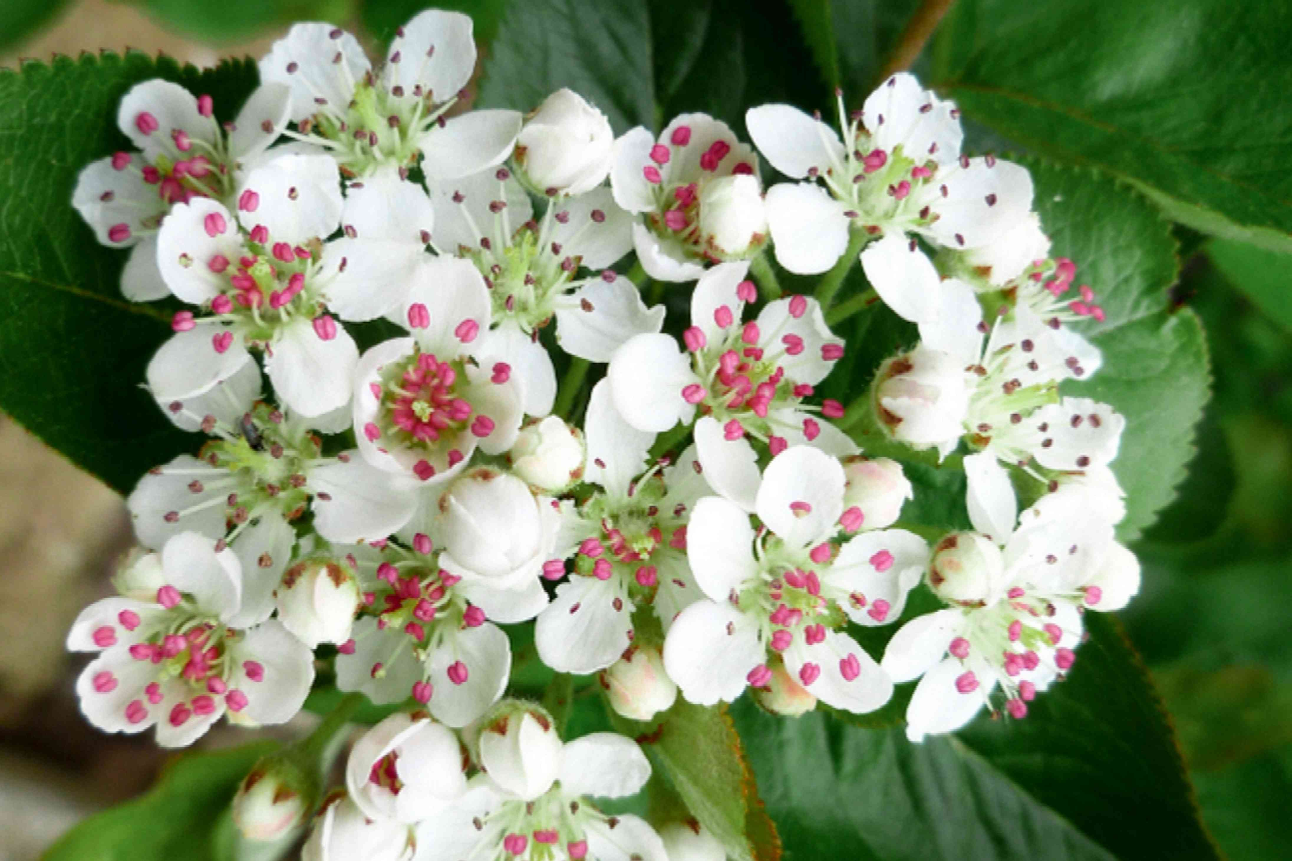 Black chokeberry plant with small white five-petaled flowers closeup