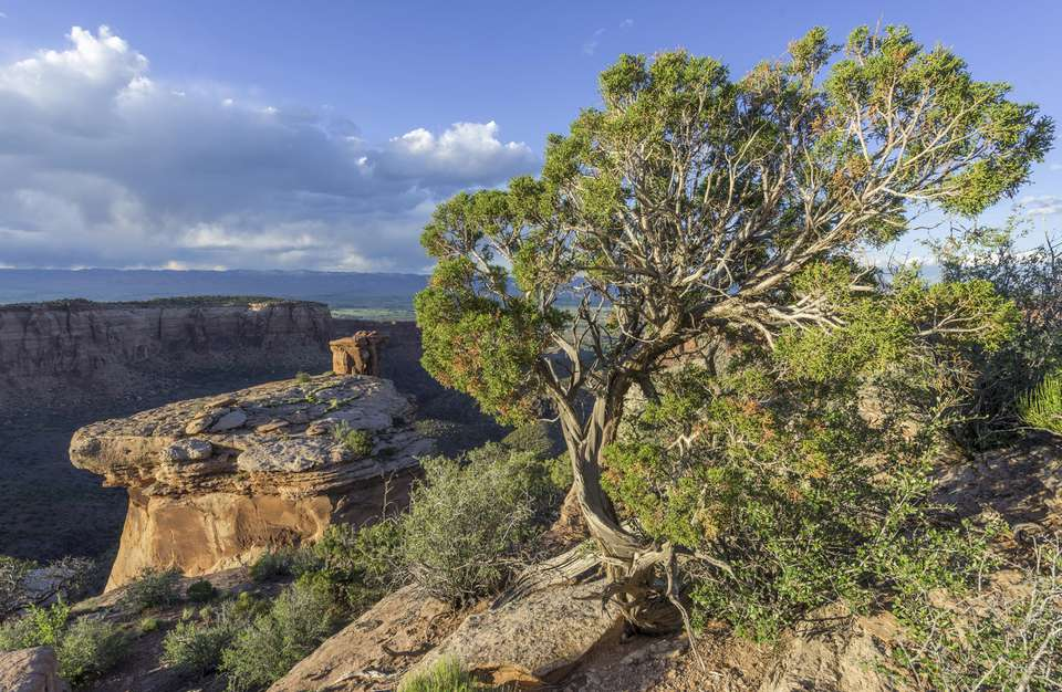 Gnarled Utah Juniper on the side of a high cliff.
