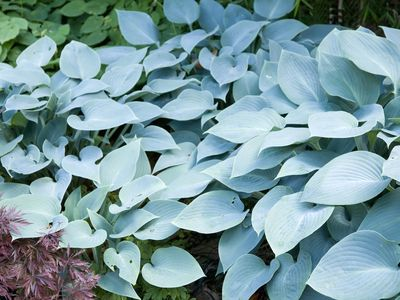 Which Hostas Can Grow In The Sun