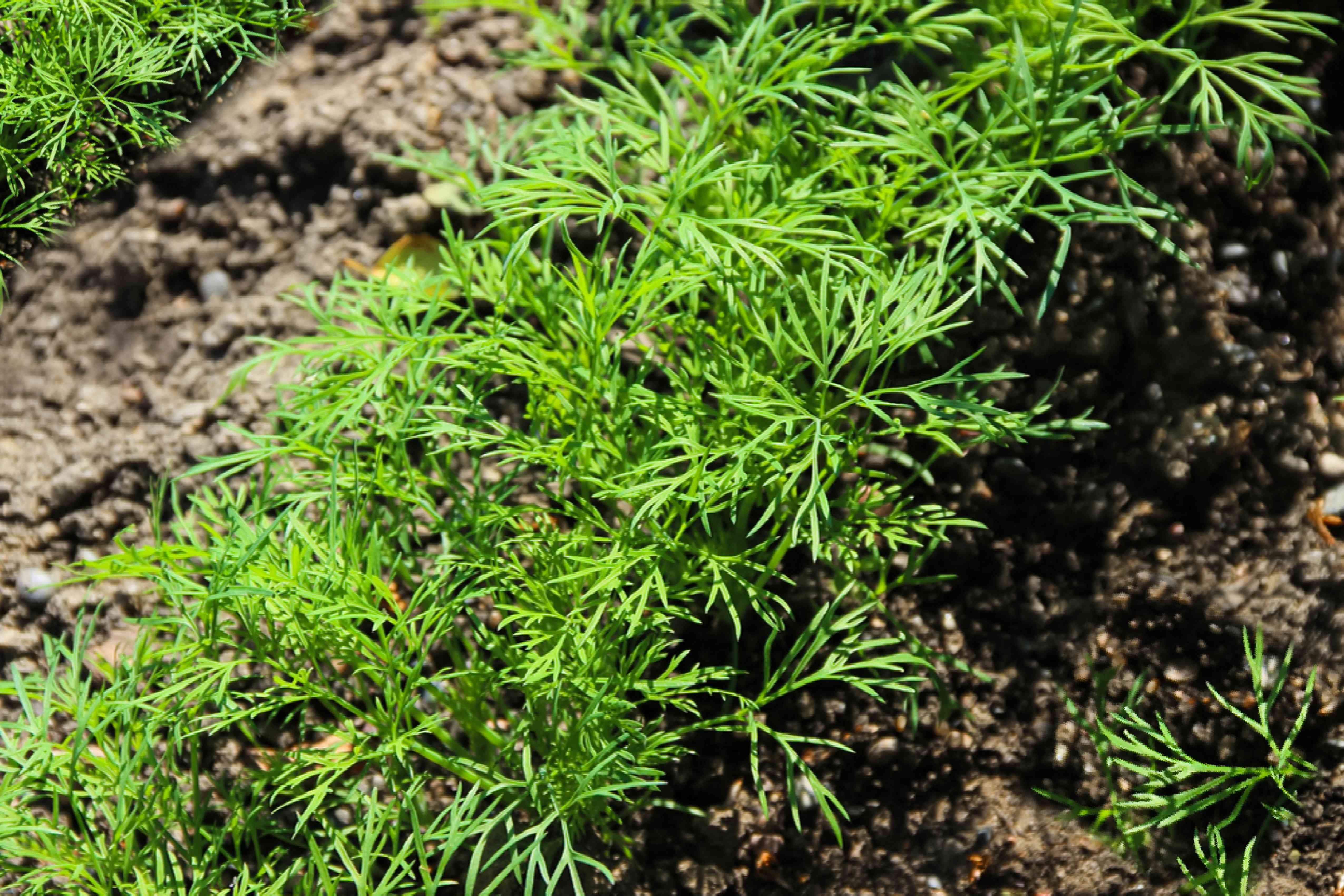 fennel growing