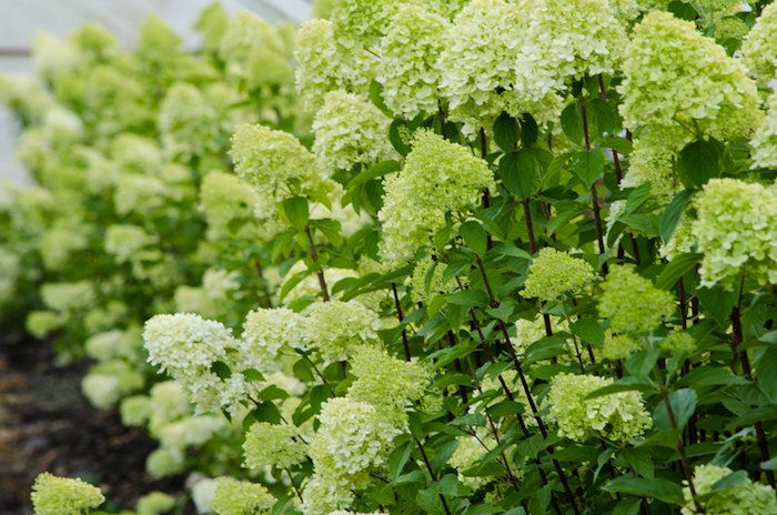 Limelight hydrangea shrubs with green blooms beginning to turn white.