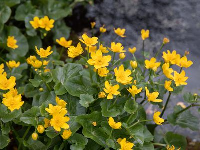 Marsh marigold plant with small yellow flowers and buds growing next to pond