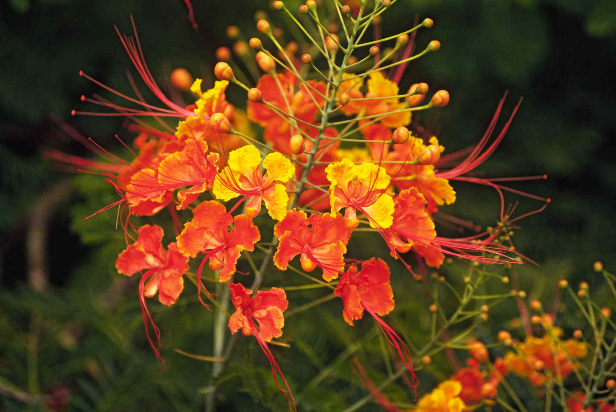 Mexican Bird of Paradise Flower