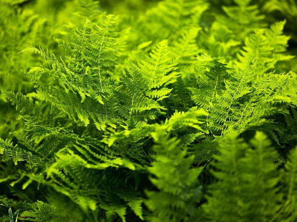 Lady fern (Athyrium filix-femina) plants