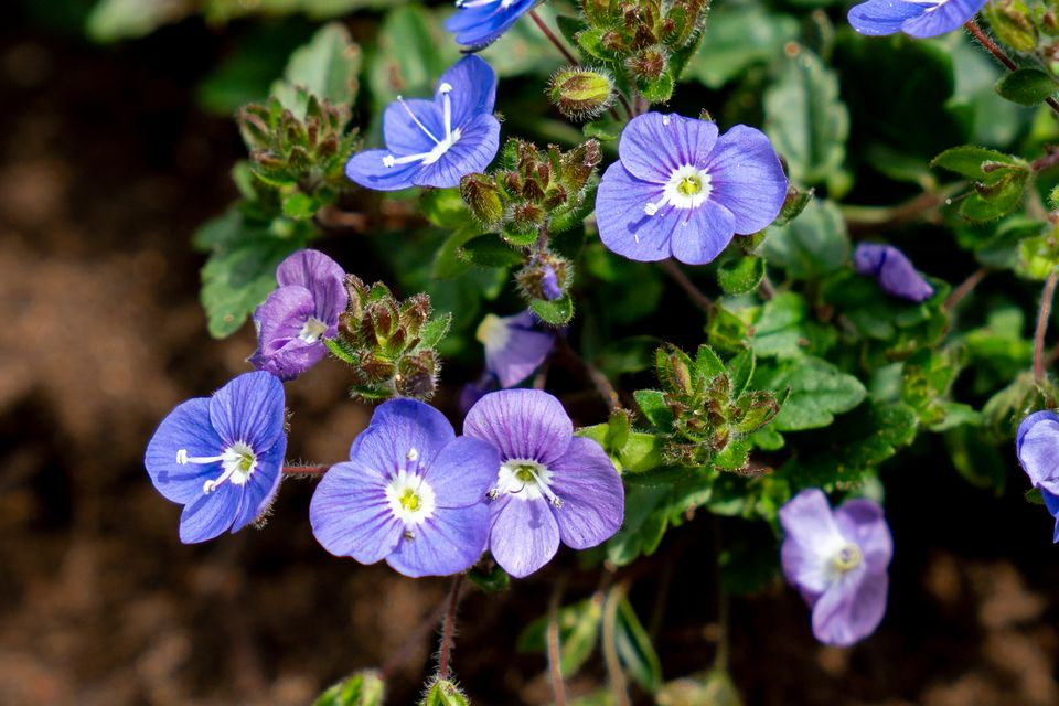 Veronica americana speedwell plant with blue and purple flowers and buds on branches closeup