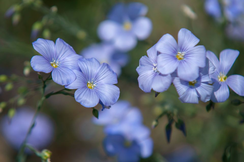 Flax plant with blue flowers closeup