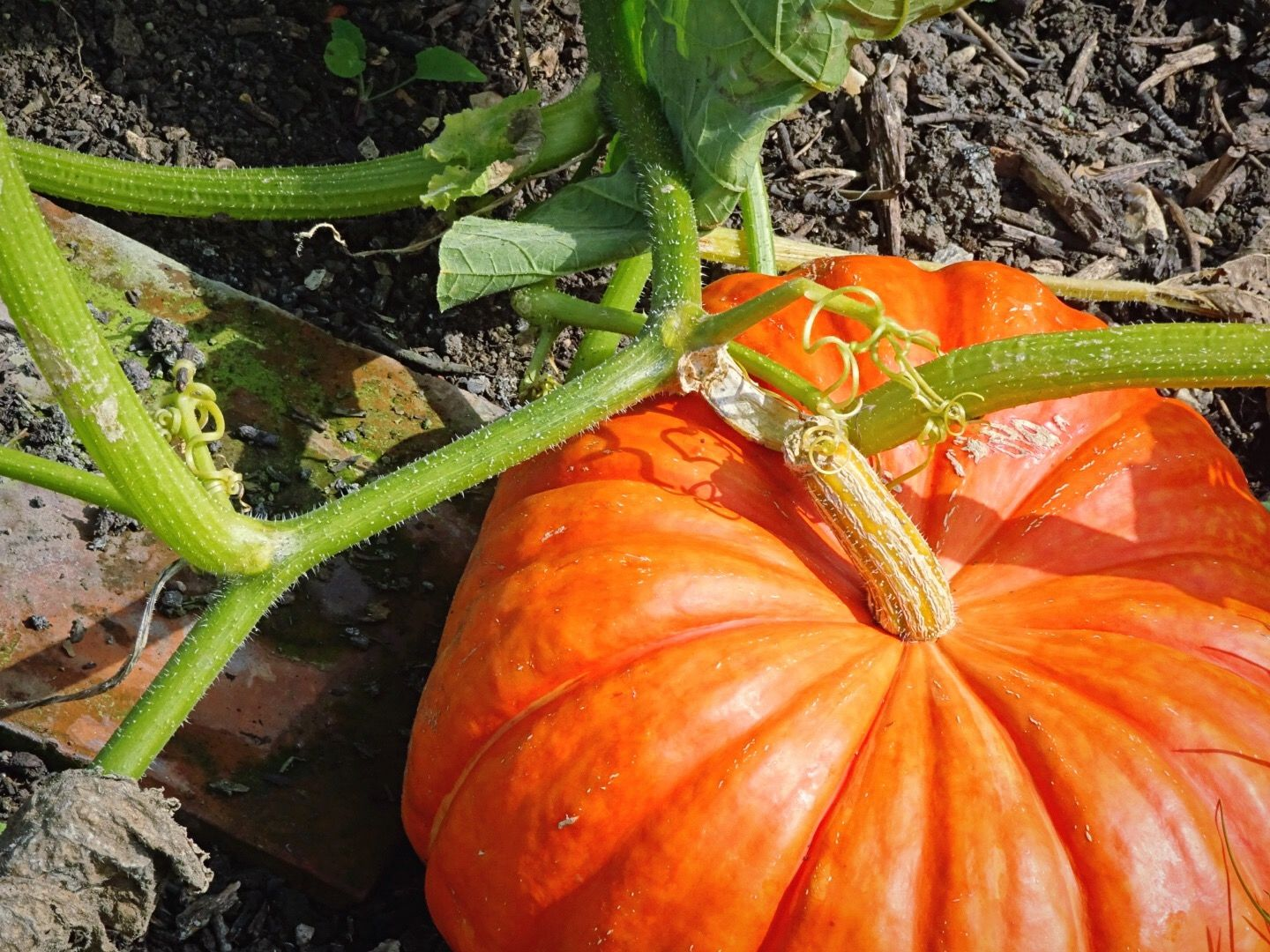 How To Grow All Kinds Of Great Pumpkins