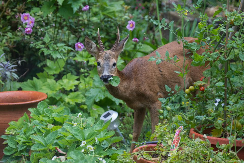 Keep Deer Out of Your Yard and Garden