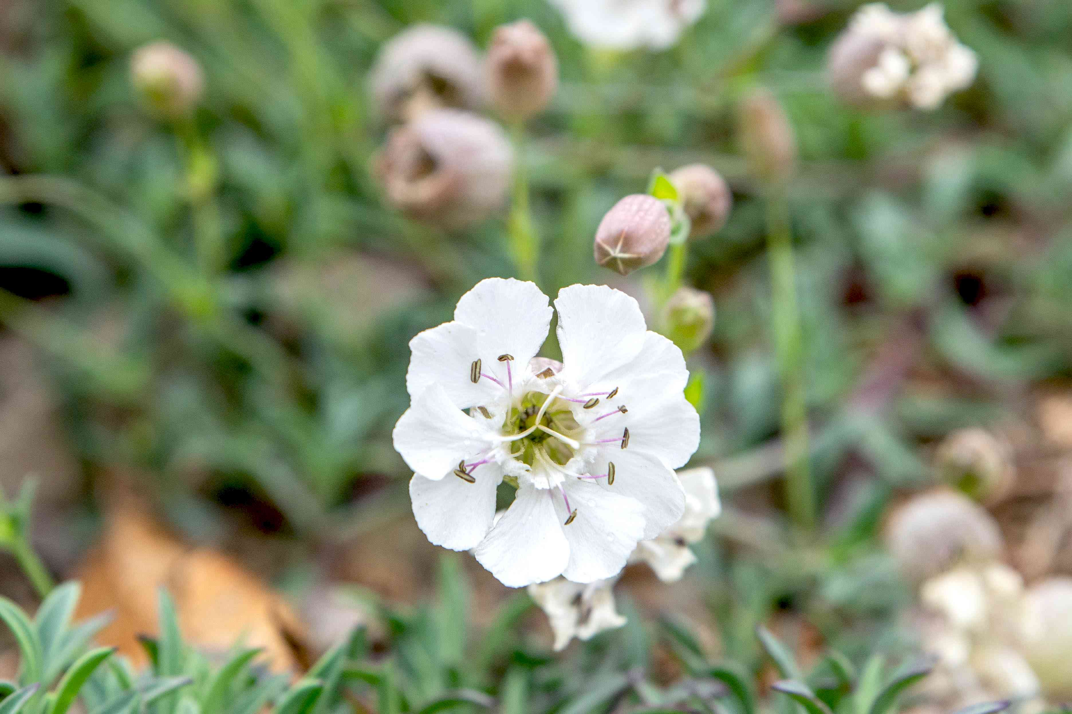 Silene flower with small white petals and pink anthers closeup