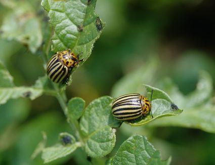 Potato beetles on leaves