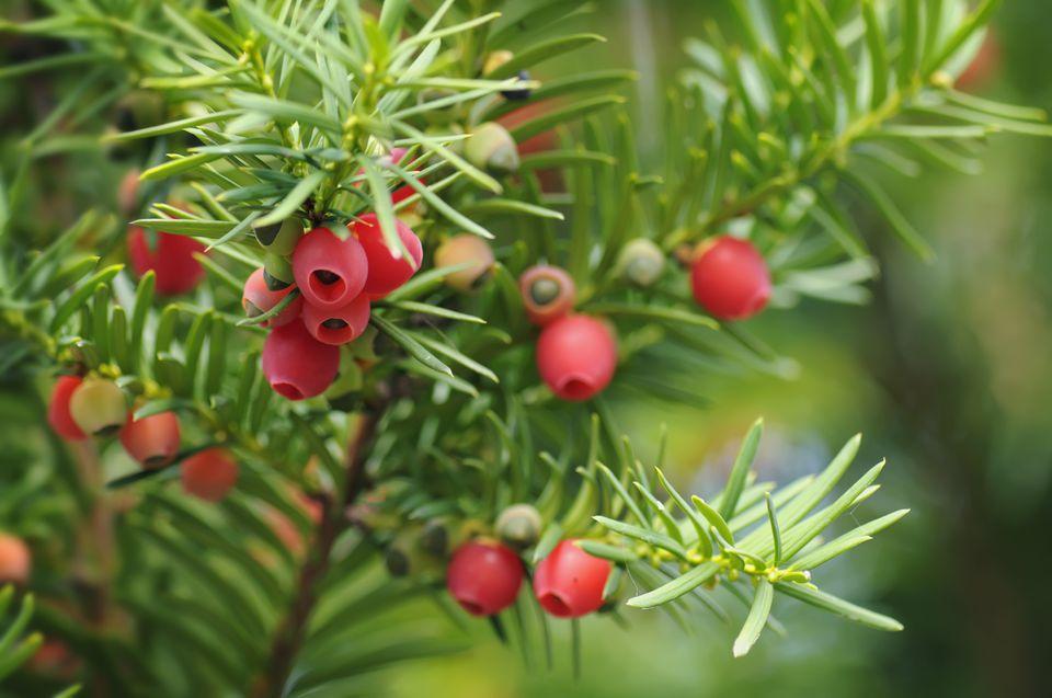 Primer del arbusto del tejo con las bayas rojas (arils).