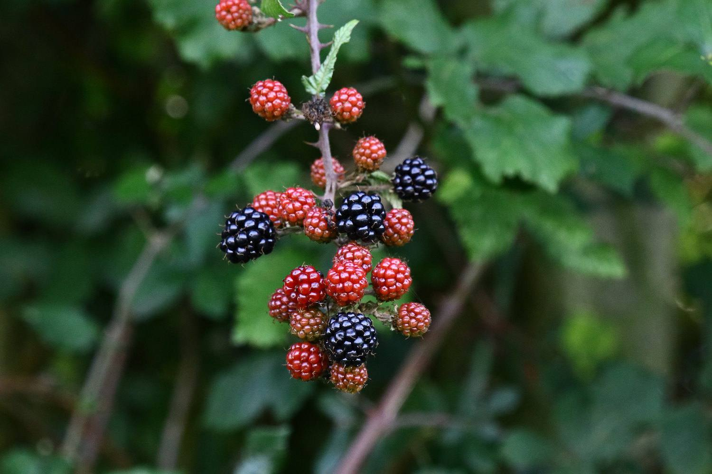 Blackberries on stem