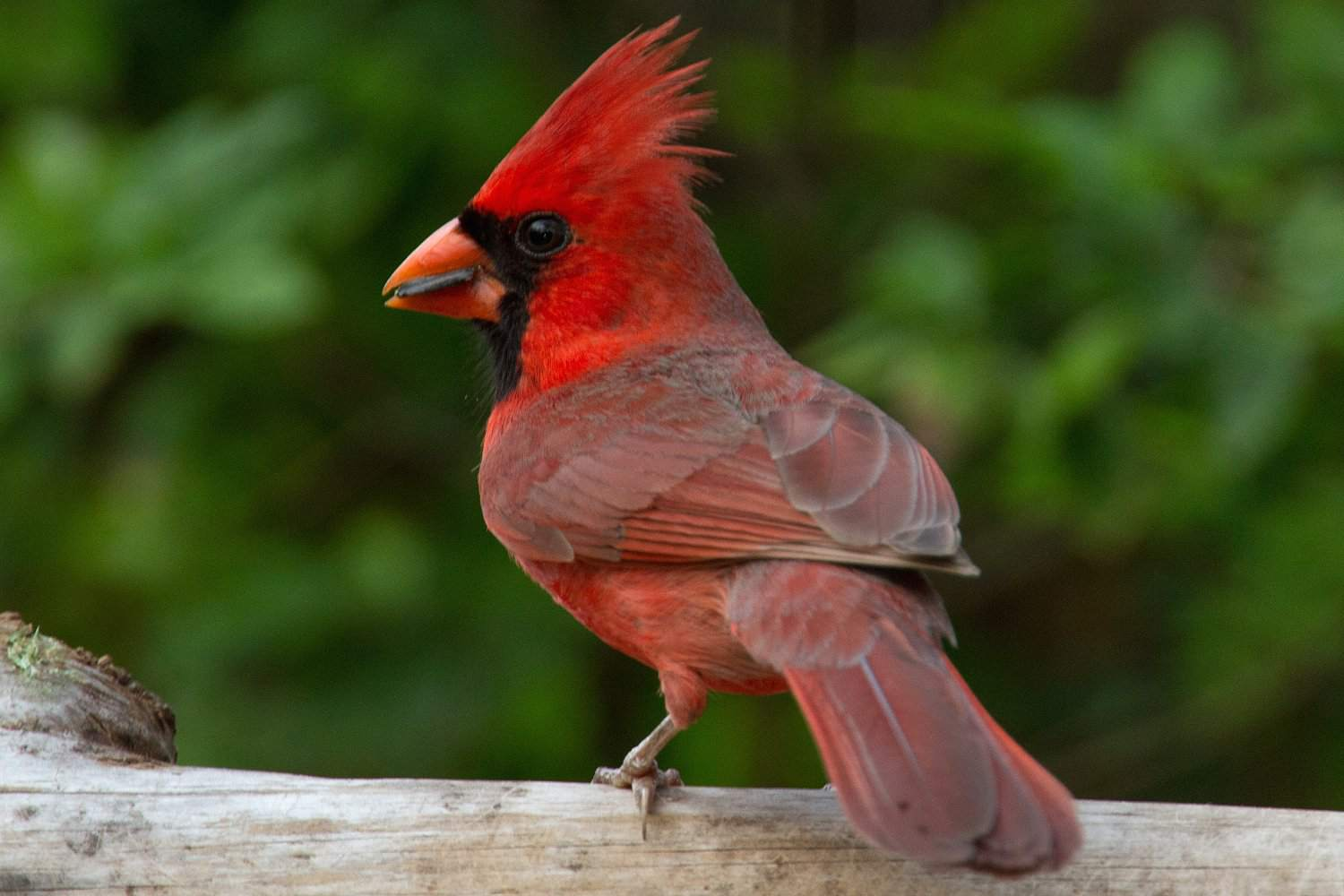 Northern Cardinal, state bird of Illinois, standing on a fence.