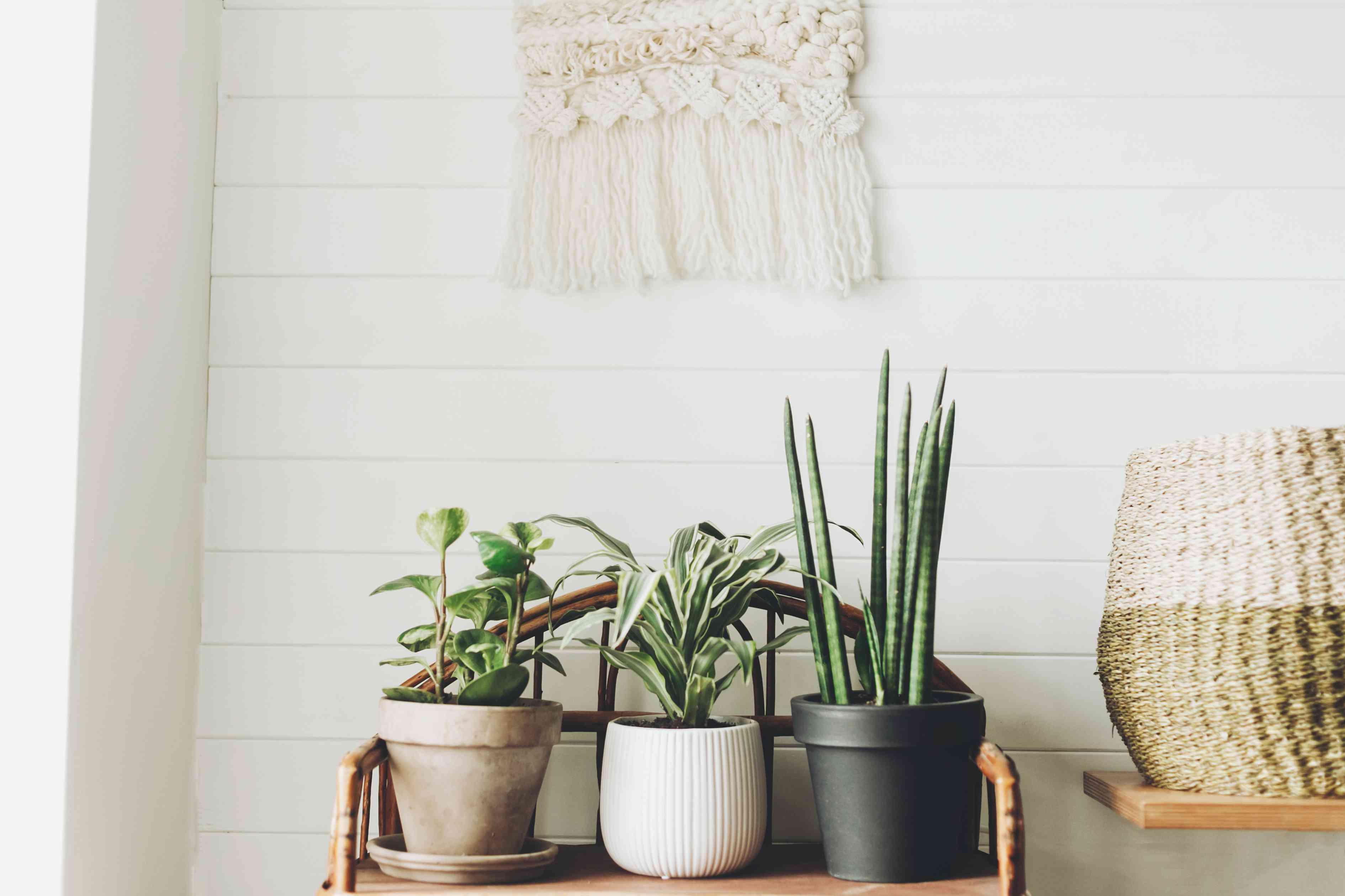 Plantas verdes con estilo en macetas sobre soporte vintage de madera sobre fondo de pared rústica blanca con colgantes bordados. Peperomia, sansevieria, plantas dracaena, decoración moderna de la habitación
