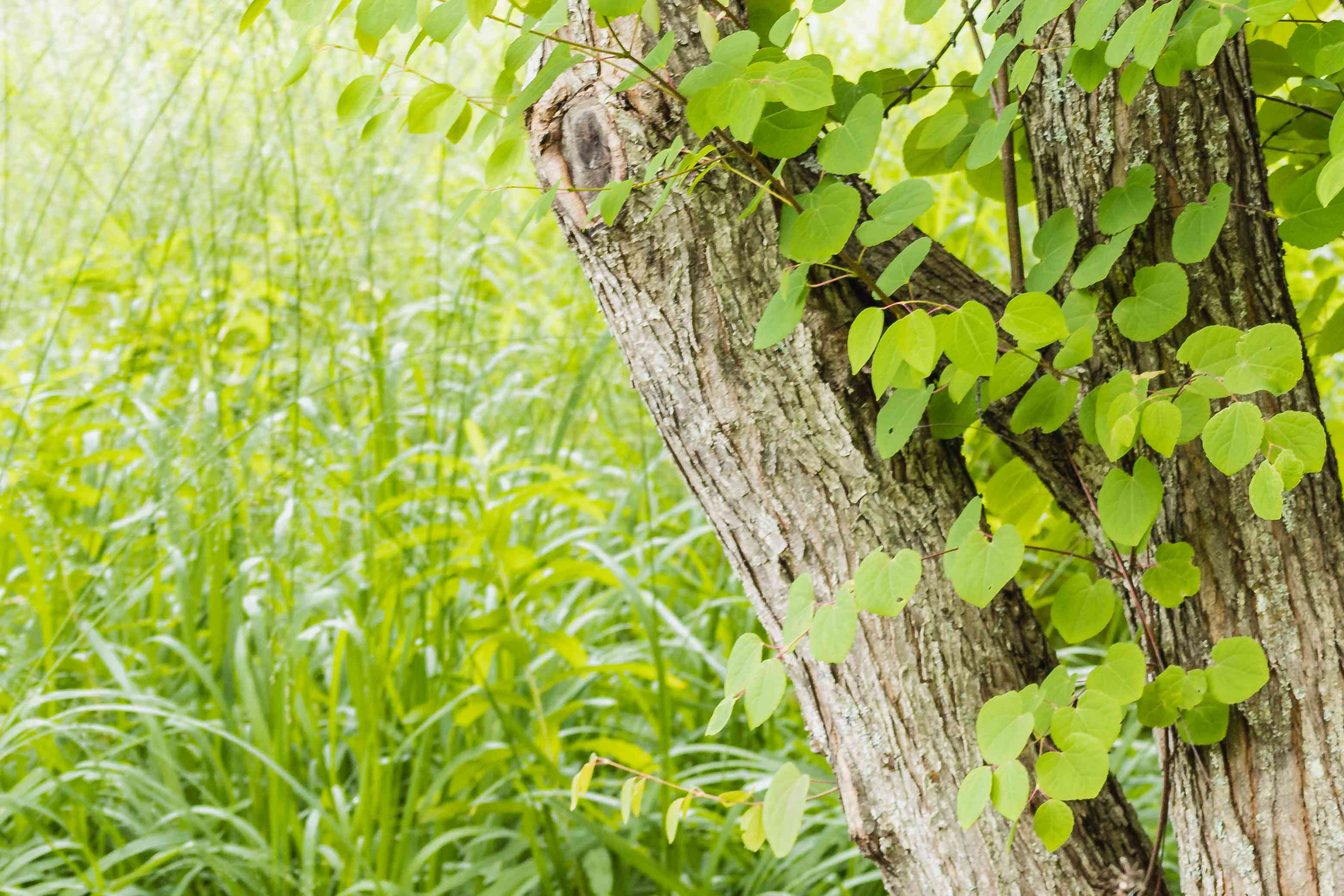 Katsura tree closeup of trunk and multi-stems with green leaves