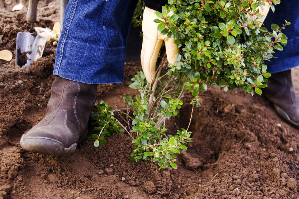 person planting shrub