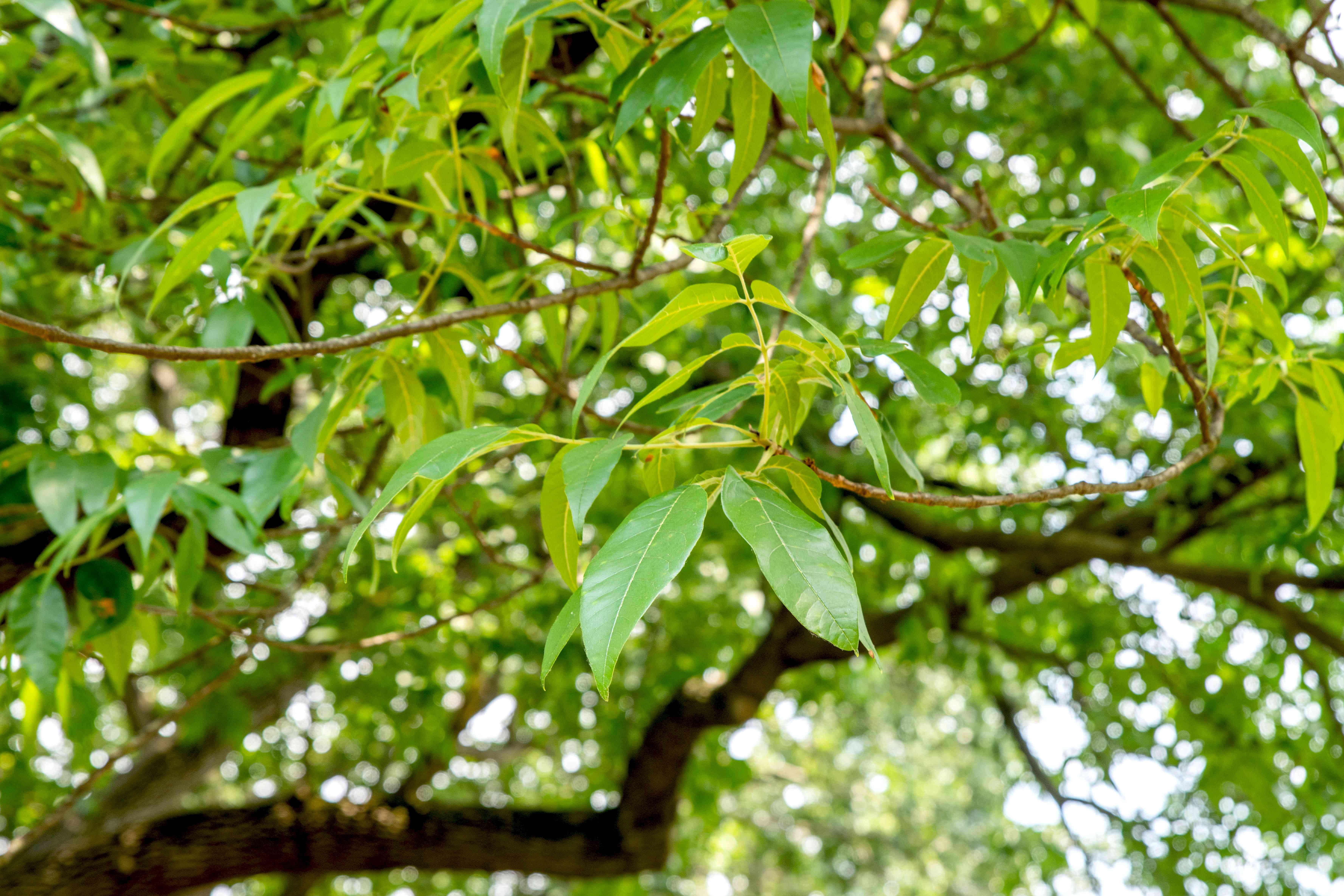 Pumpkin ash tree branches with multiple leaflets on ends