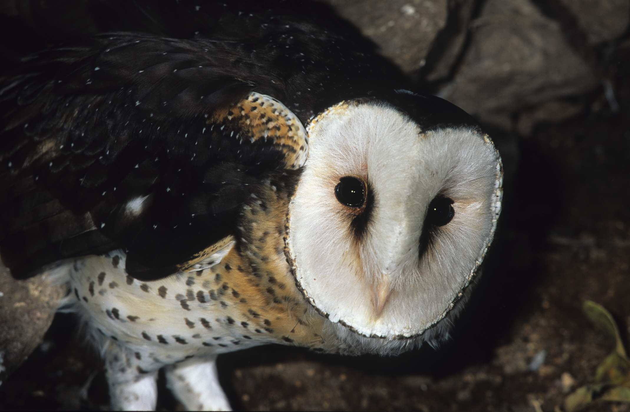 Owl Types and Species List - A-Z Owls - photo#41