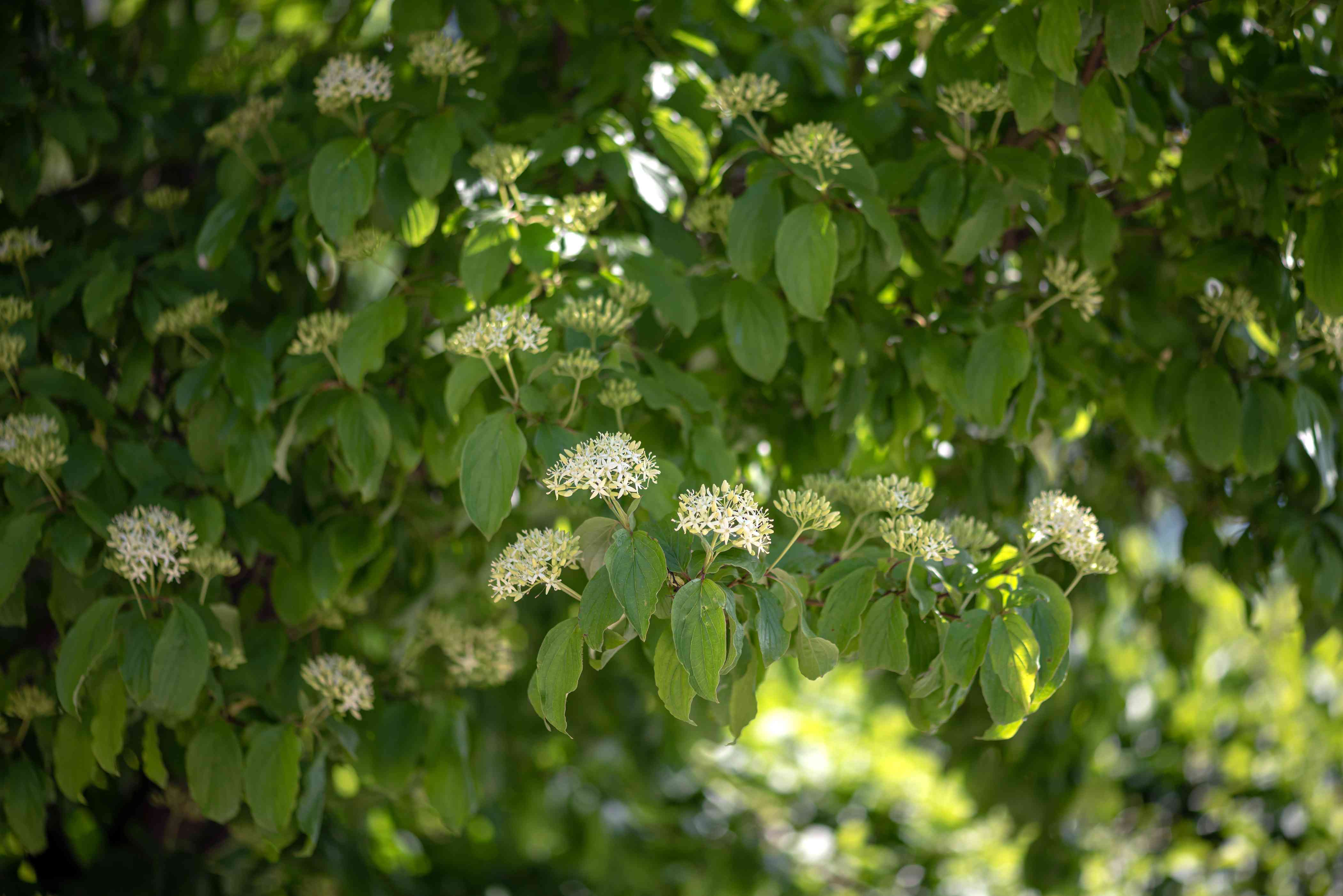 Silky dogwood shrub with large leaves and small white flower clusters on branches