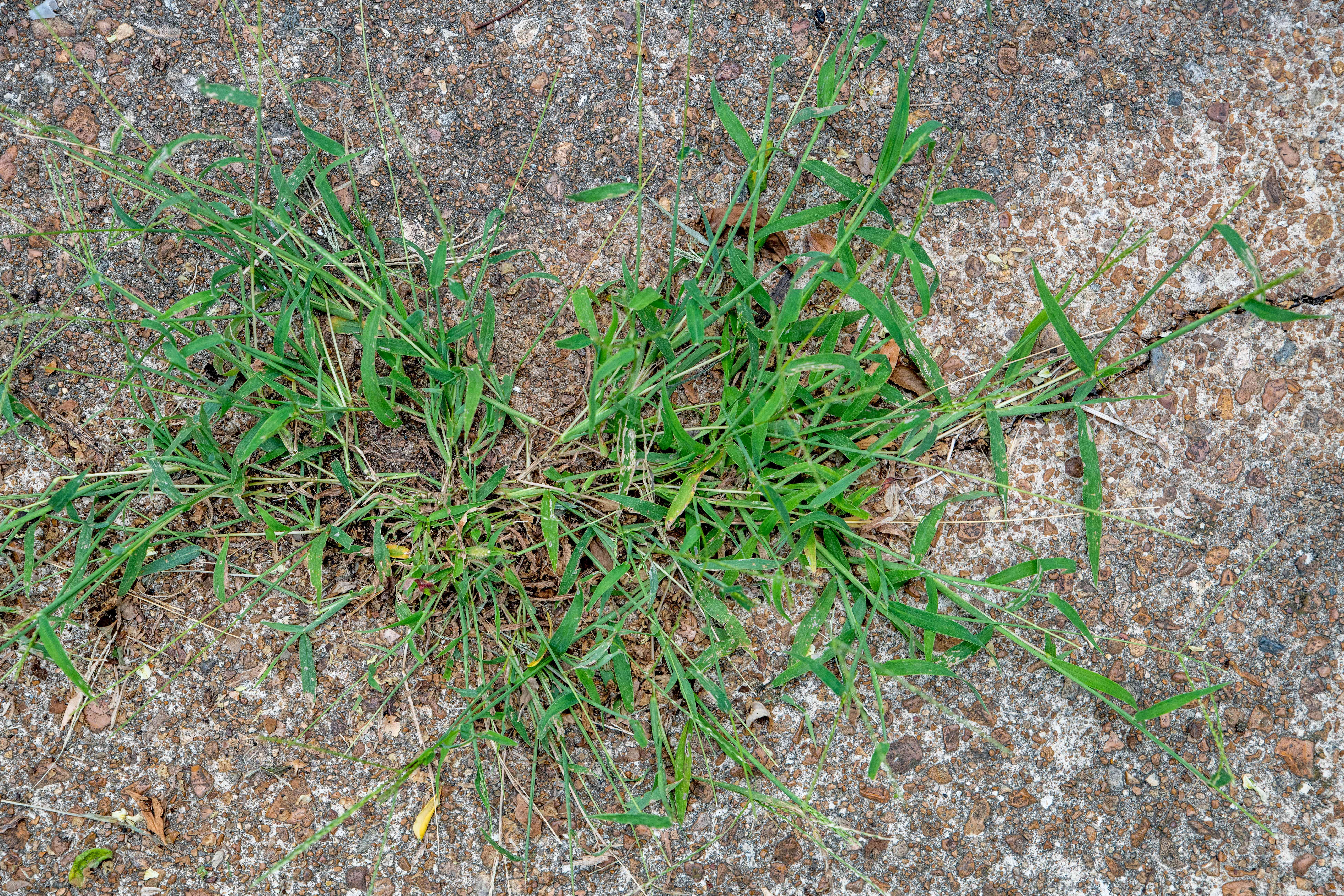 Patch of crabgrass spreading over cement