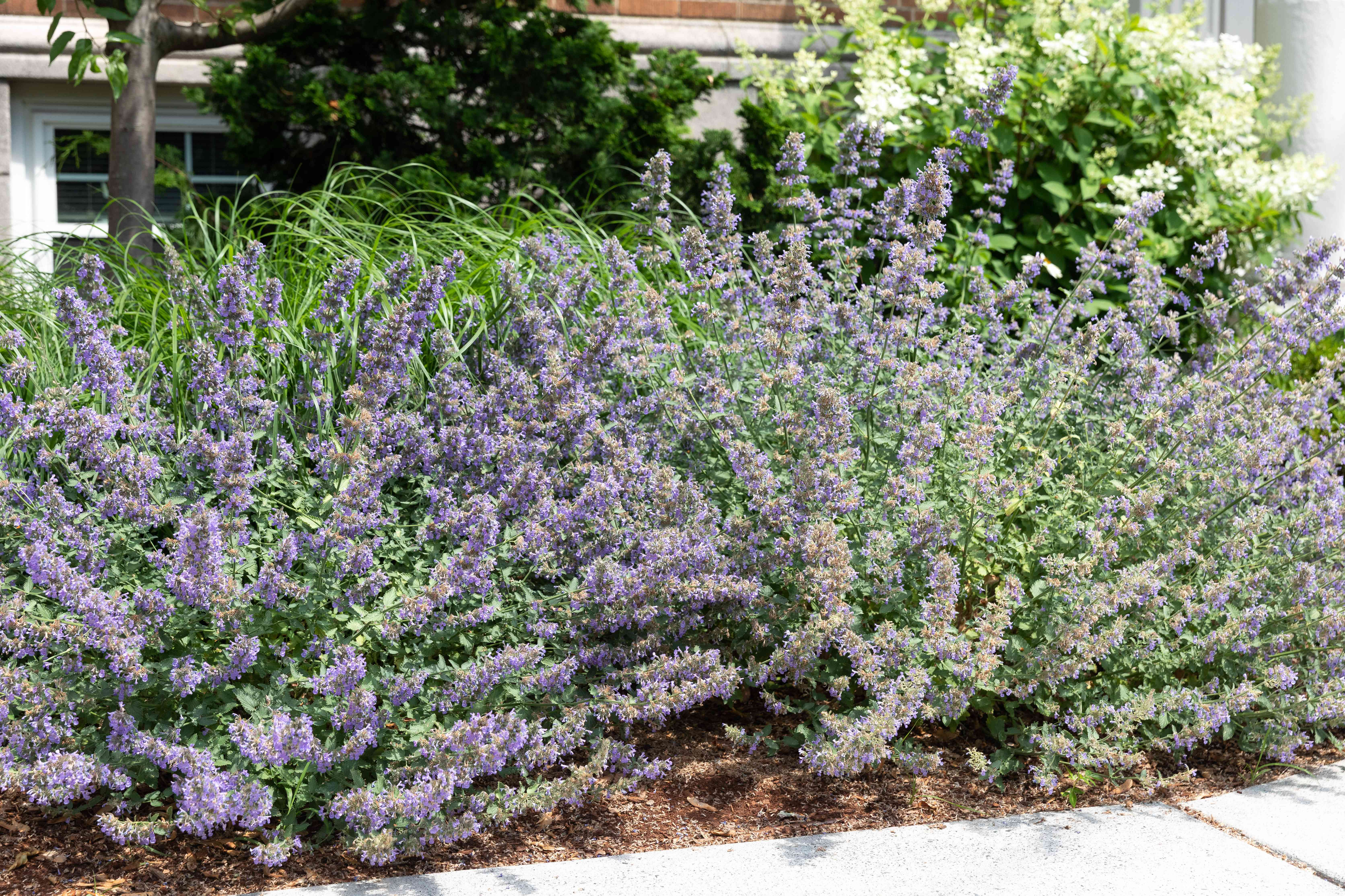 catmint used as edging in a garden