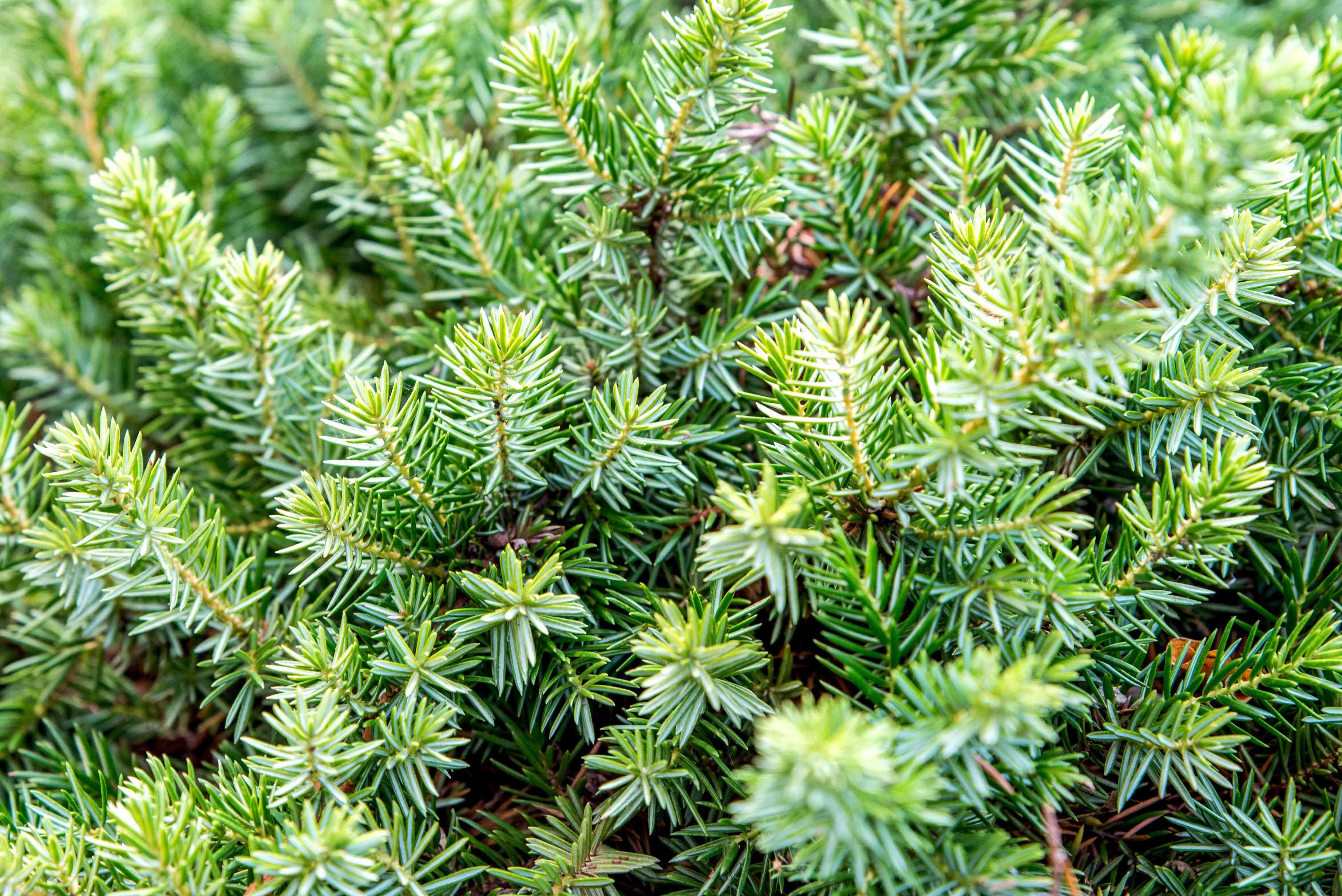 shore juniper