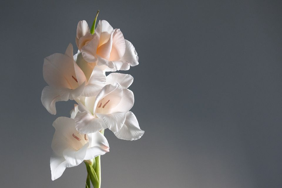 Close-Up Of Gladiolus Against Gray Background