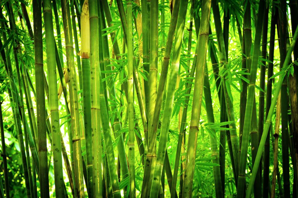 Bamboo hedge