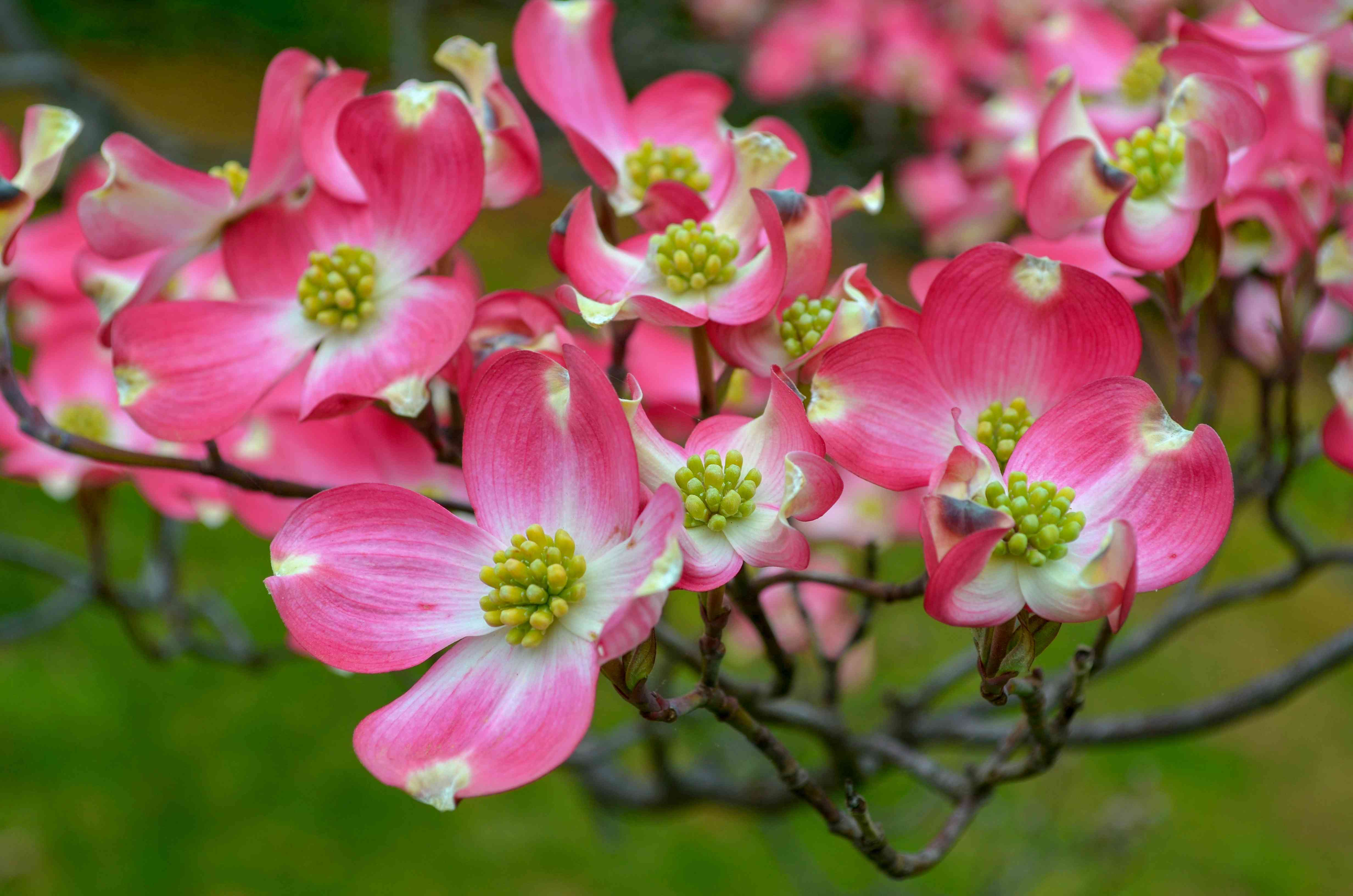 Group of Pink Dogwood Flowers
